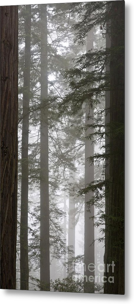 Plant Metal Print featuring the photograph Foggy Coast Redwood Forest by Gregory G. Dimijian, M.D.
