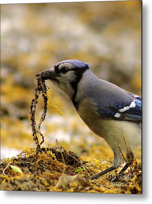 Animal Metal Print featuring the photograph Blue Jay Nest Building by Robert Frederick