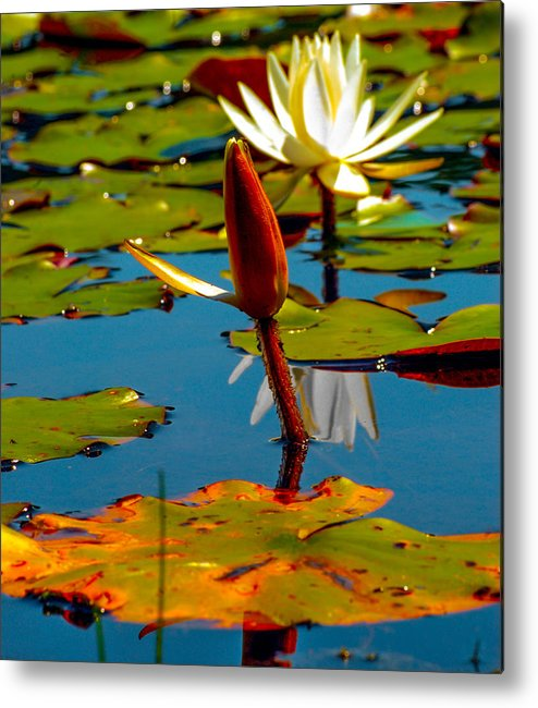 Optical Playground By Mp Ray Metal Print featuring the photograph Budding Lilies by Optical Playground By MP Ray