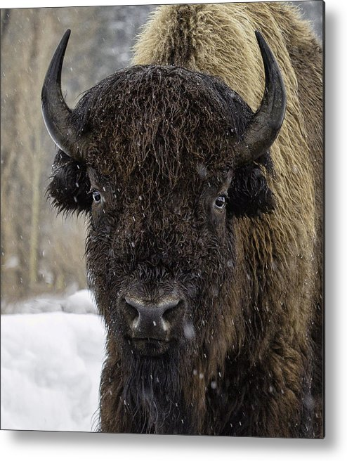 Buffalo Metal Print featuring the photograph Buffalao In Snow by Susi Stroud