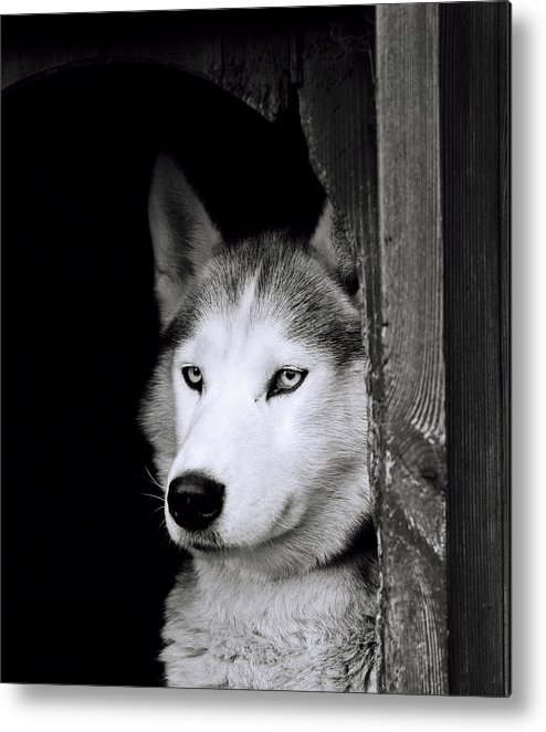 Dog Metal Print featuring the photograph Confidence by Shaun Higson