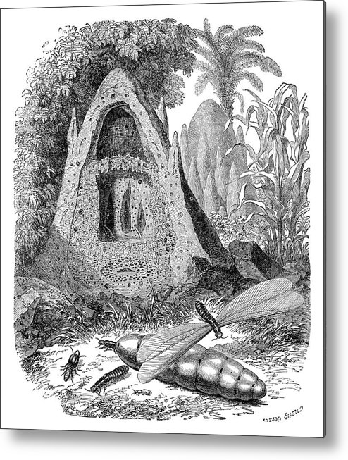 Termite Metal Print featuring the photograph Termite Mound And Castes by