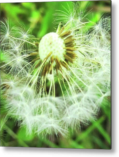 Dandelions Metal Print featuring the photograph Almost Dandy by Vijay Sharon Govender