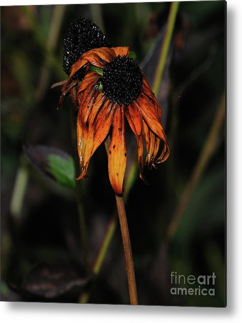 Black Eyed Susan Metal Print featuring the photograph Faded Beauty by Rch Sylvester