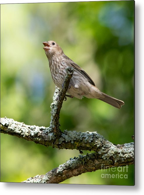 Bird Metal Print featuring the photograph Female House Sparrow by Alicia Collins