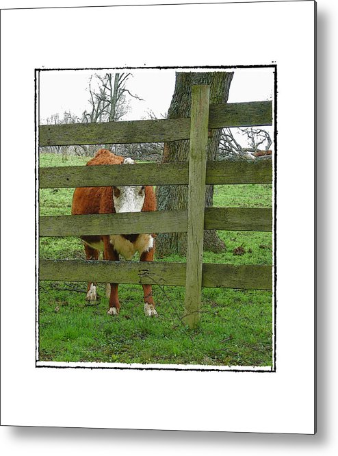 Cow Metal Print featuring the photograph LZ by Robert Boyette