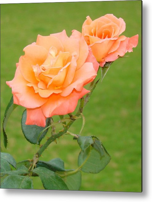 Roses Metal Print featuring the photograph Peach And Gold Roses by Reshmi Shankar