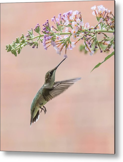 Hummingbird Metal Print featuring the photograph Pink by Kathy Duncan