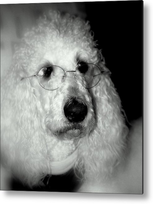 Dog Metal Print featuring the photograph Professor Doodle by Trudi Southerland