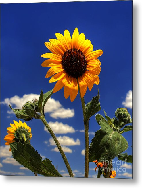 Landscape Metal Print featuring the photograph Sunflower by Pete Hellmann