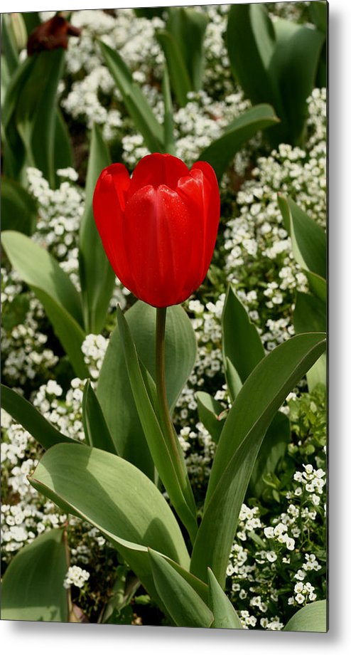 Red Metal Print featuring the photograph Red Tulip 09 by David Houston