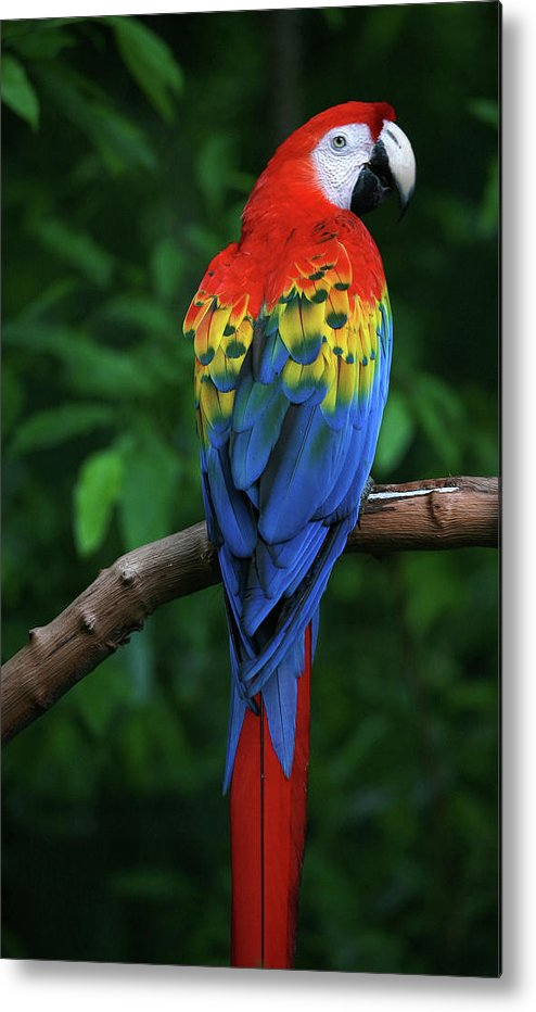 Tropical Rainforest Metal Print featuring the photograph Scarlet Macaw by Thepalmer
