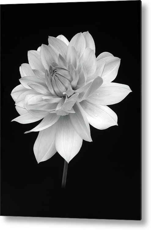 Haslemere Metal Print featuring the photograph Dahlia In Gentle Shades Of Grey by Rosemary Calvert