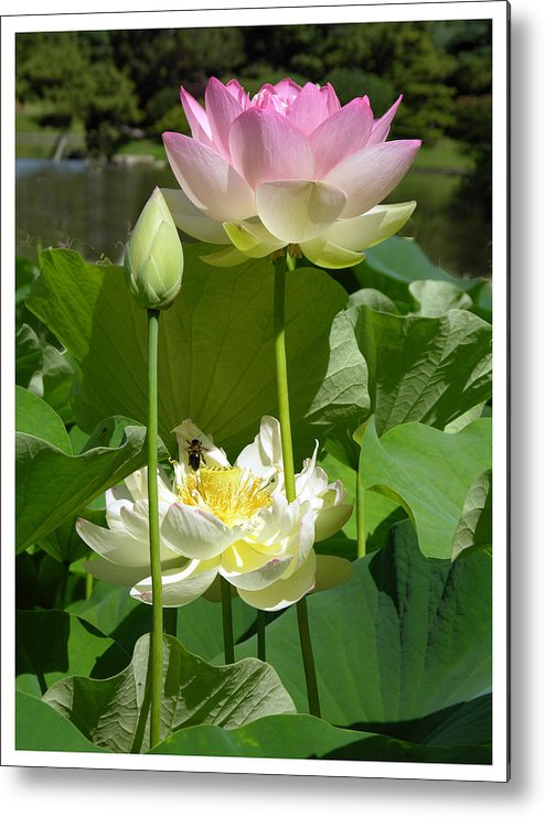 Lotus Metal Print featuring the photograph Lotuses in Bloom by John Lautermilch