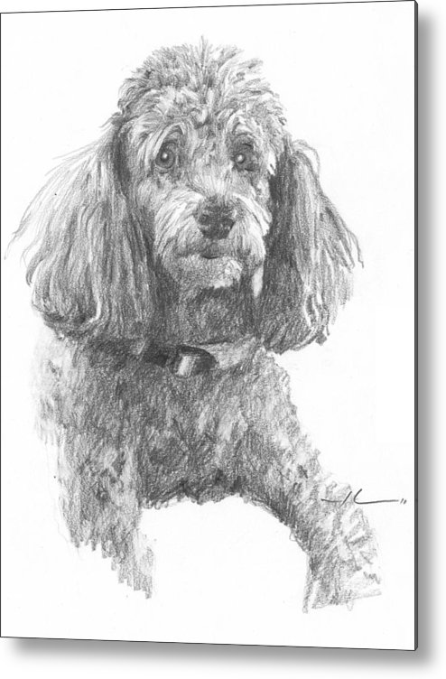<a Href=http://miketheuer.com Target =_blank>www.miketheuer.com</a> Poodle Pencil Portrait Metal Print featuring the drawing Poodle Pencil Portrait by Mike Theuer