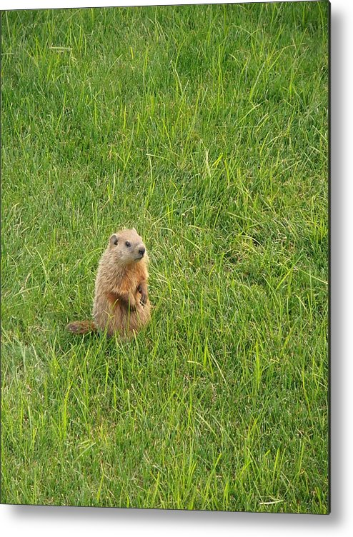 Groundhog Metal Print featuring the photograph Baby Groundhog by Kimberly Perry