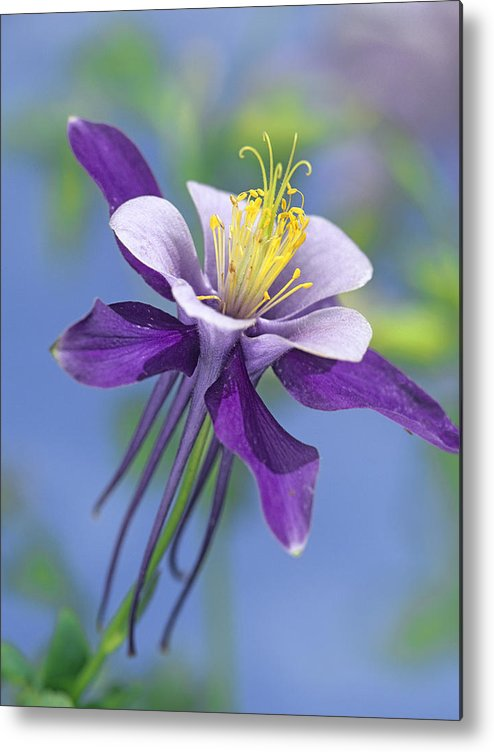 00176669 Metal Print featuring the photograph Colorado Blue Columbine Close by Tim Fitzharris