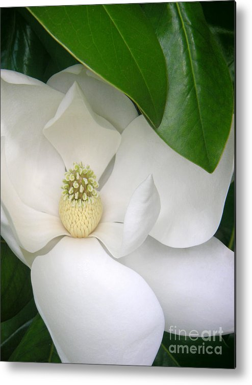 Nature Metal Print featuring the photograph Magnolia Protected by Lucyna A M Green