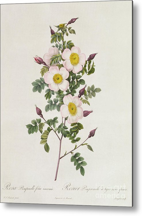 Rosa Metal Print featuring the drawing Rosa Pimpinelli Folia Inermis by Pierre Joseph Redoute