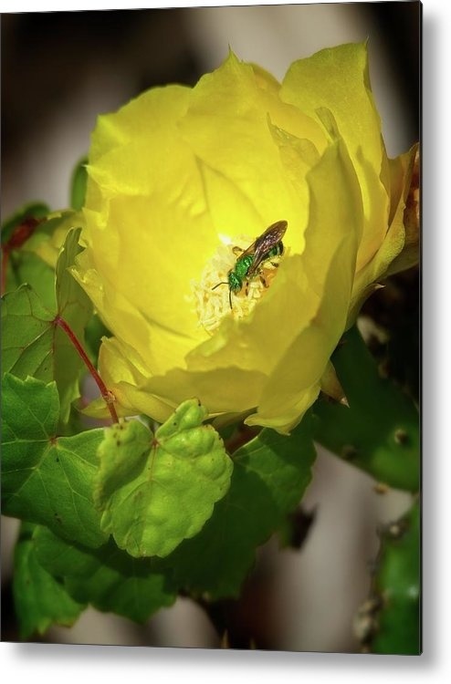 Green Metal Print featuring the photograph Green Bee on Cactus Flower by Steve DaPonte