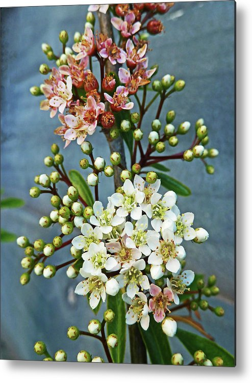 Bud Metal Print featuring the photograph Little Star Like Buds by Steve Taylor Photography