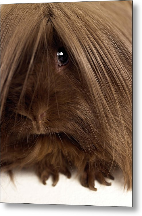 Pets Metal Print featuring the photograph Long Haired Guinea Pig, Close-up by Michael Blann
