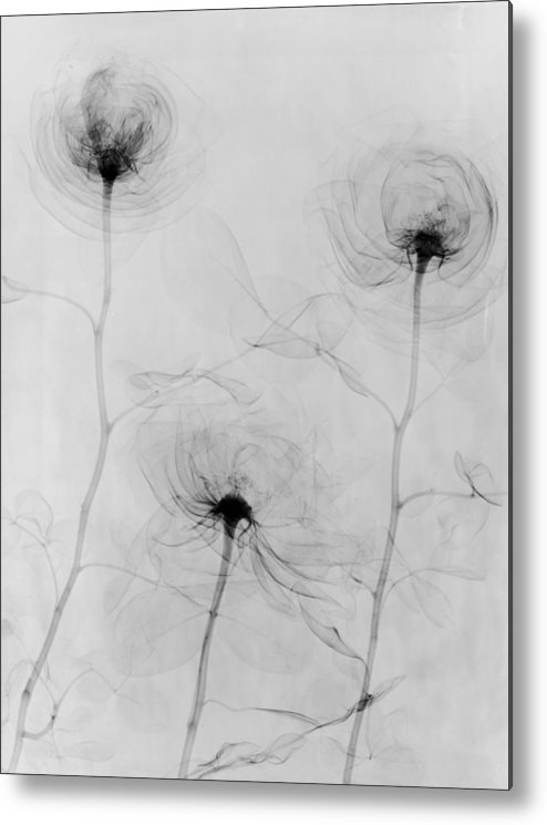 1910-1919 Metal Print featuring the photograph X-ray Three Roses by Edward Charles Le Grice