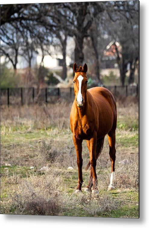 Horse Metal Print featuring the photograph Bay Horse 3 by C Winslow Shafer