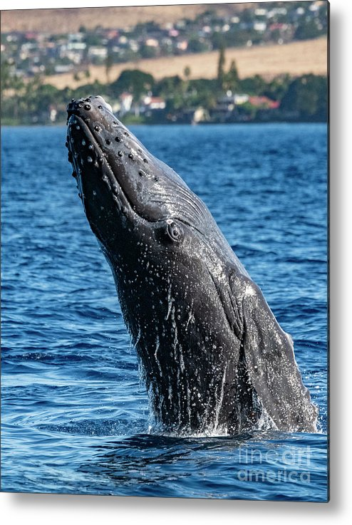 00595515 Metal Print featuring the photograph Juvenlie Humpback Breaching by Flip Nicklin