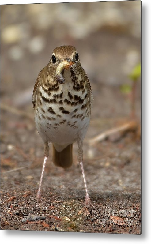 Thrush Metal Print featuring the photograph Hermit Thrush And The Grub by Kathy Baccari