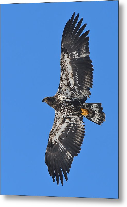 Eagle Metal Print featuring the photograph Immature Eagle by Rich Tanguay