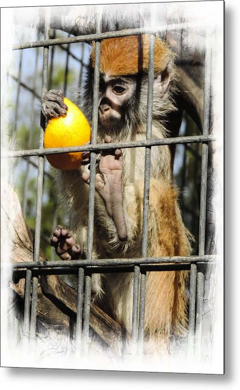 Animal Metal Print featuring the photograph Monkeys by Leslie Hunziker