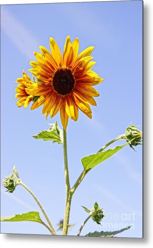 Agriculture Metal Print featuring the photograph Sunflower In The Sky by Kerri Mortenson