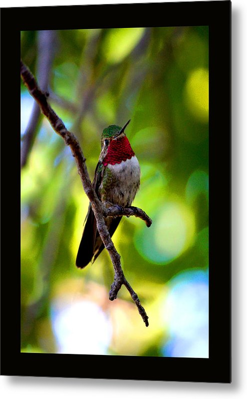 Ruby Throated Hummingbird Metal Print featuring the photograph Ruby Throated Hummingbird by Susanne Still
