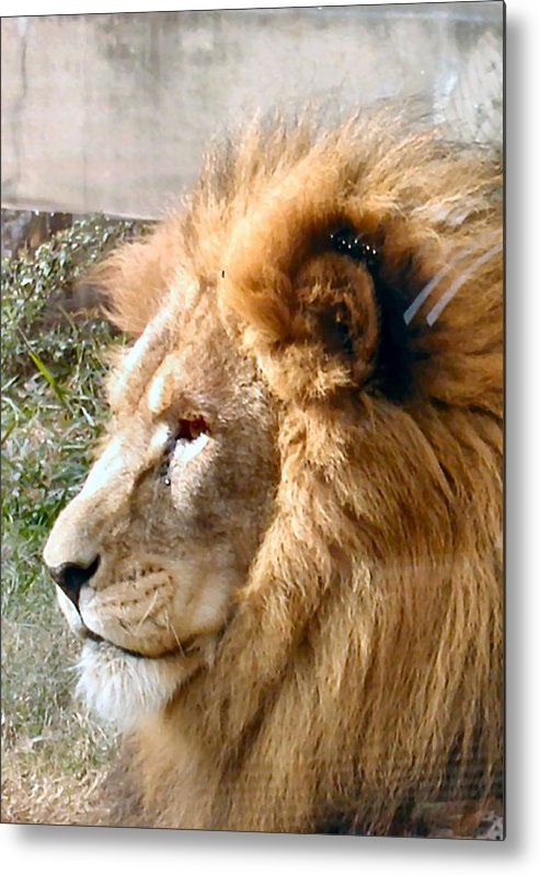 Lion Metal Print featuring the photograph Pride by Camera Candy