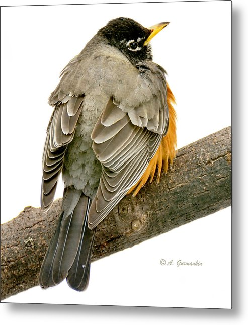 Male Metal Print featuring the photograph American Robin Male Animal Portrait by A Gurmankin