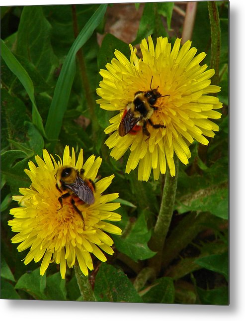 Dandelion Metal Print featuring the photograph Dandelions And Bees by Heather Coen