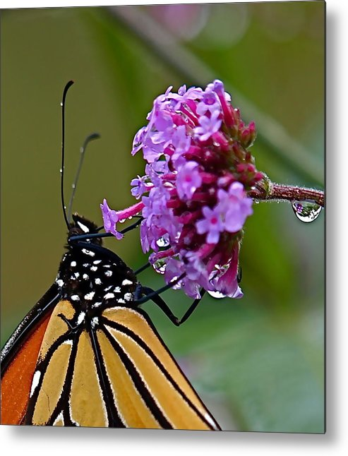 Butterfly Metal Print featuring the photograph Monarch Purple by Peter Gray