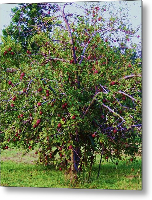 Western North Carolina Metal Print featuring the photograph Nc Mountain Apples II by Cindy Gacha