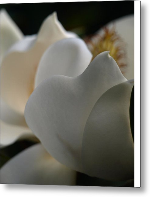 Magnolia Metal Print featuring the photograph Soft White by Kim