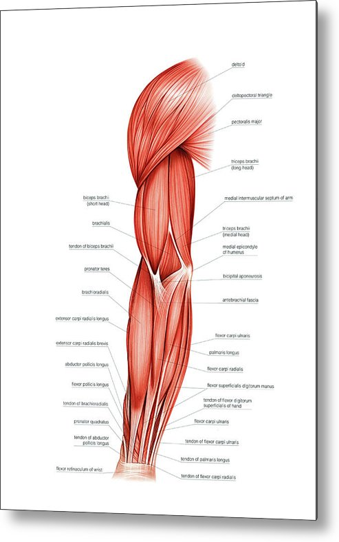 Muscles Of Right Upper Arm Metal Print By Asklepios Medical Atlas