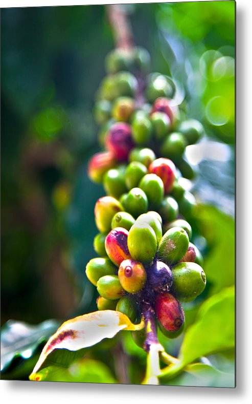 Coffee Beans Metal Print featuring the photograph Coffee Beans by Viola Jasko