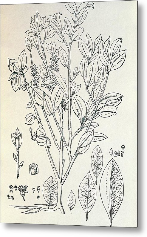 Erythroxylon Coca Metal Print featuring the photograph Historical Art Of Coca Plant by George Bernard/science Photo Library