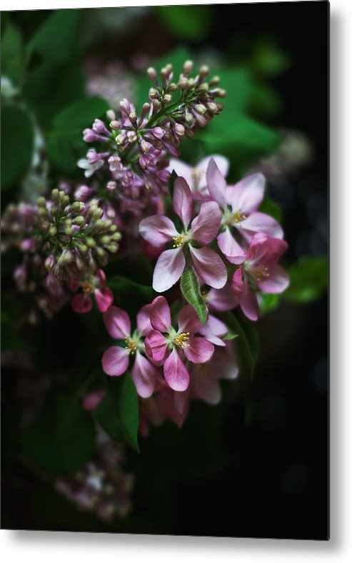 Lilac Metal Print featuring the photograph Lilac And Crabapple by Kellianne Hutchinson