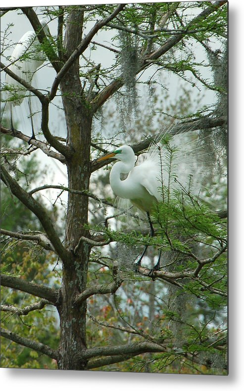 Egret Metal Print featuring the photograph The Mating Dance by Suzanne Gaff