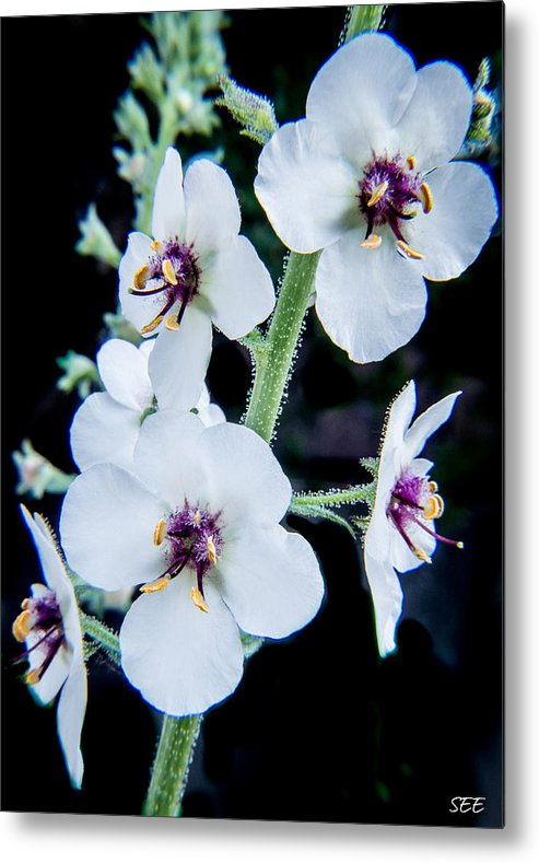 Flower Metal Print featuring the photograph White On Black by Susan Eileen Evans
