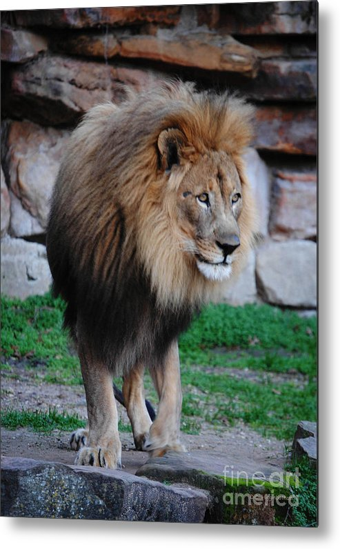 Lion Metal Print featuring the photograph Regal by DiDi Higginbotham