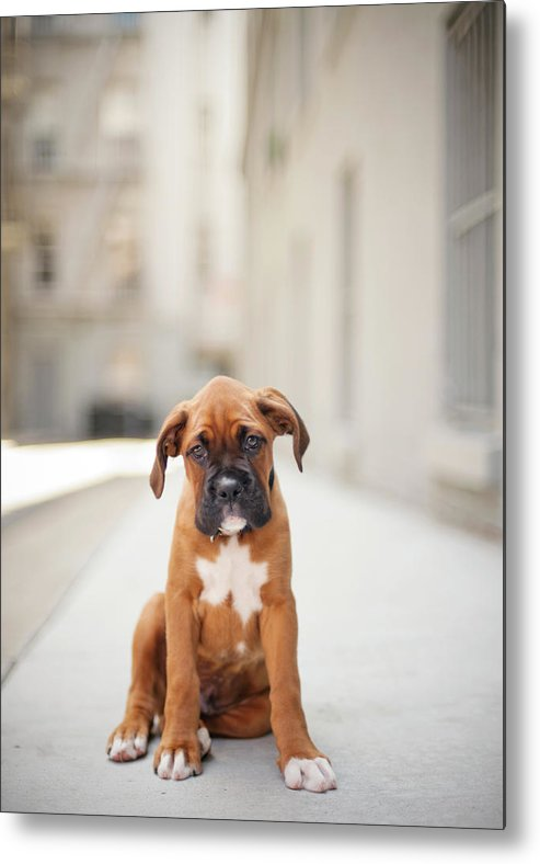 Vertical Metal Print featuring the photograph 2 Month Old Boxer Puppy Standing In Alley by Diyosa Carter