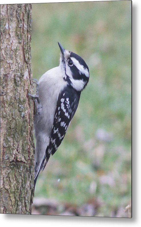 Downy Woodpecker Metal Print featuring the photograph Downy Woodpecker On Dogwood by Robert E Alter Reflections of Infinity LLC