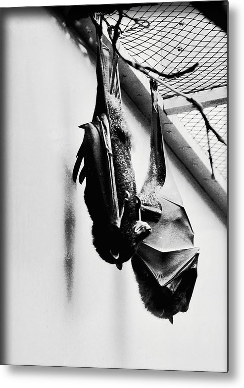 Bat Metal Print featuring the photograph Just Hanging Around by Brittany Horton